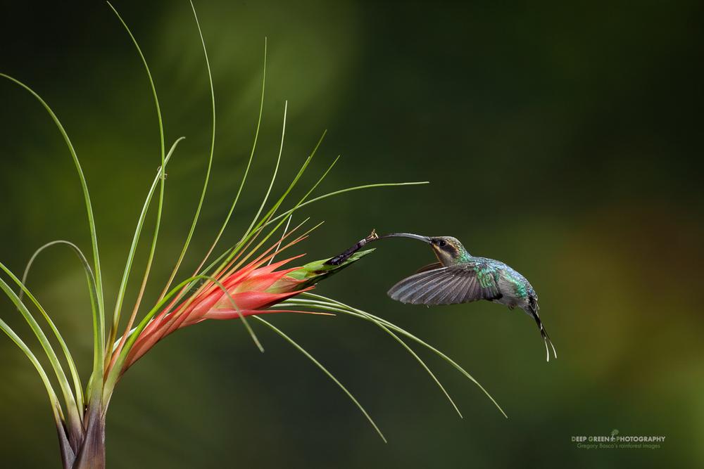 DGPstock-hummingbirds-28.jpg