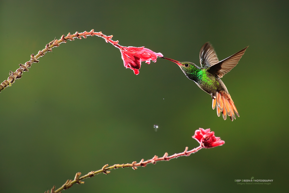 DGPstock-hummingbirds-89.jpg