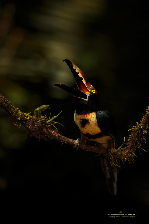 DGPprints-call-of-the-rainforest.jpg