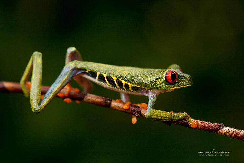DGPstock-frogs-25.jpg