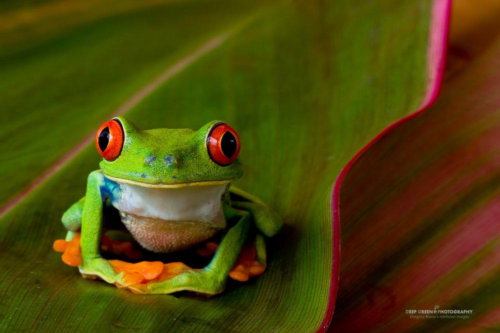 DGPstock-frogs-53.jpg