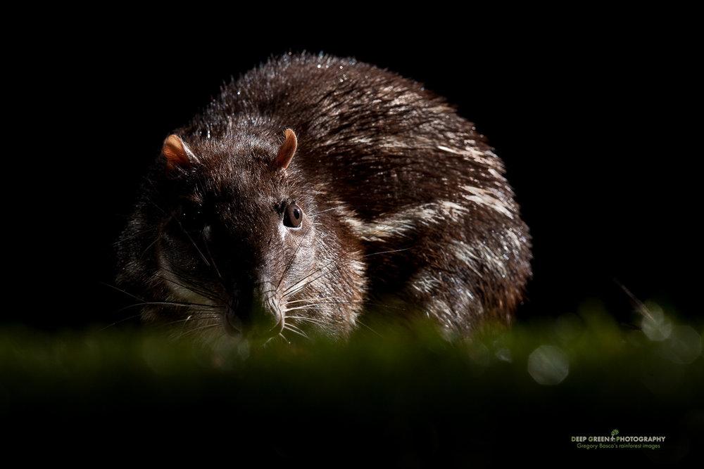 DGPstock-mammals-24.jpg