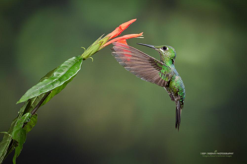 DGPstock-hummingbirds-40.jpg