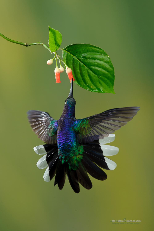 DGPstock-hummingbirds-58.jpg