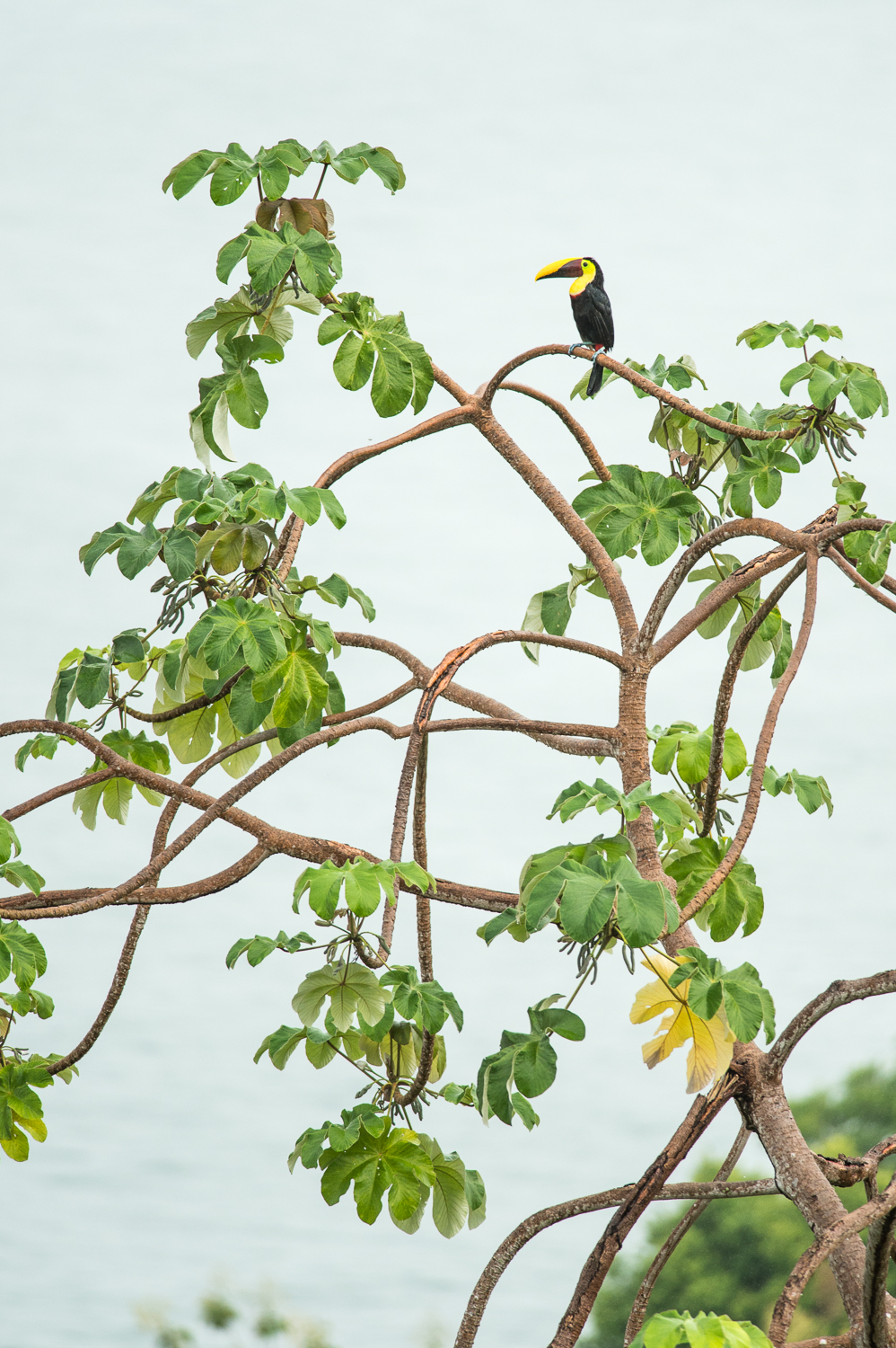 chesnut-mandibled-toucan-costa-rica-3495.jpg