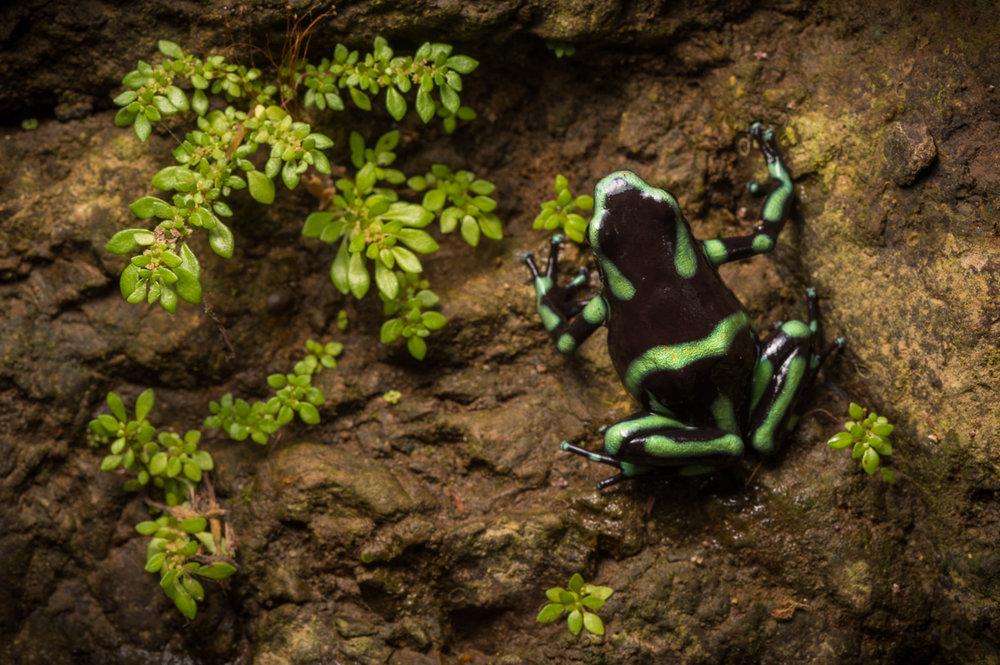 poison-frog-Dendrobates-auratus-3172.jpg