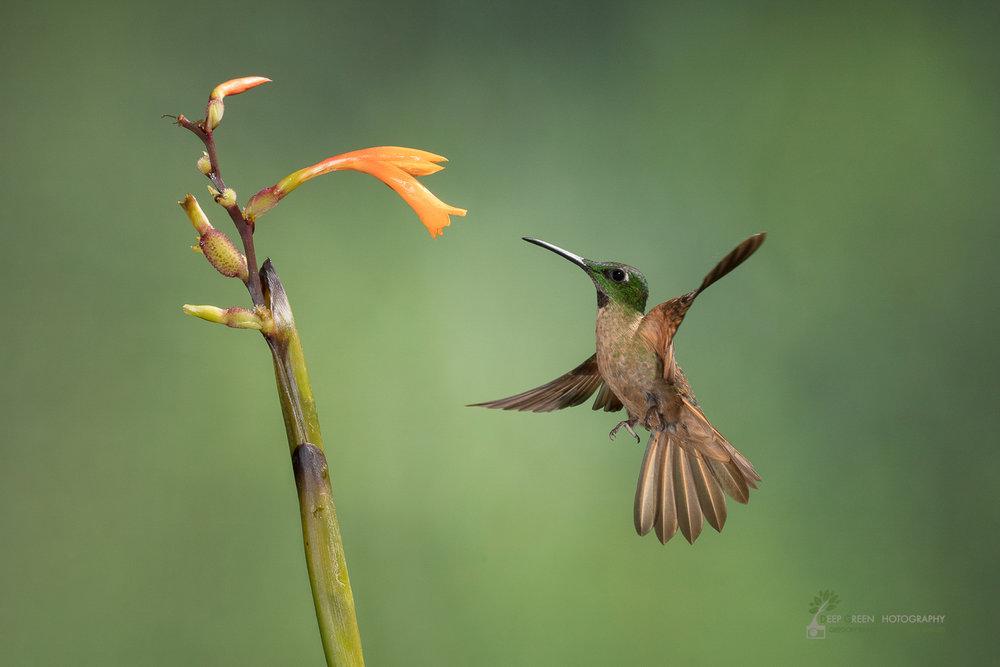 DGP-stock-hummingbirds-126.jpg