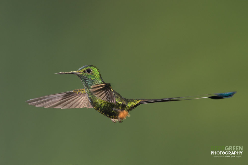 DGPstock-hummingbirds-146.jpg