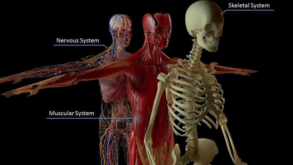 Body Systems (Skeletal-Muscular-Nervous).JPG