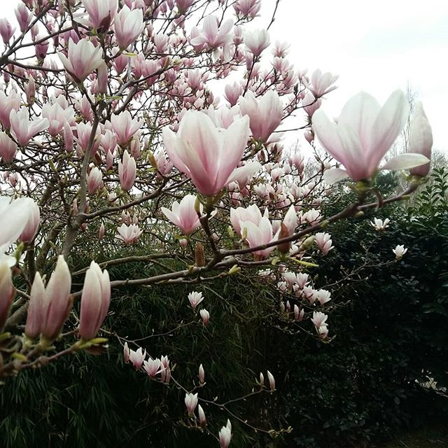 j'attends toute année pour me réjouir de cette beauté éphémère - #Magnolias de mon jardin est en fleurs !  Quel festin et régale pour les yeux que je voudrais partager avec vous !!! #spring #helloprintemps #fleurs #instantpresent #moment #insta #nature #lovenature #gaia #letcelebrate