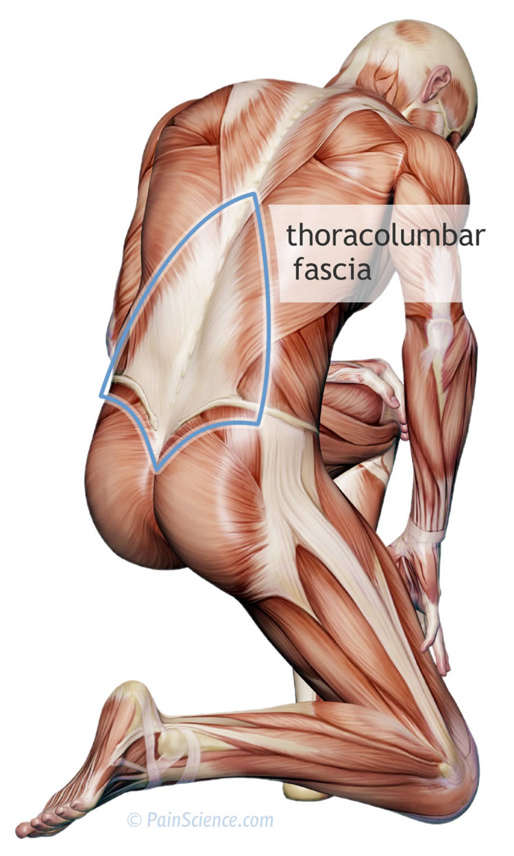 thoracolumbar-fascia-xl.jpg