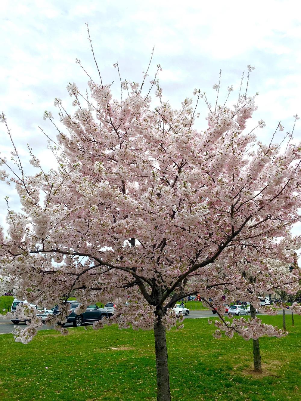 cherry-blossom-festival-washington-dc-apeachlife.jpg