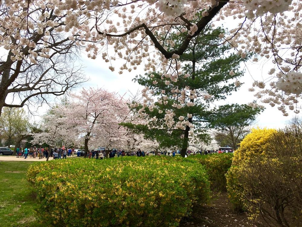 washington-dc-cherry-blossom-festival-a-peach-life