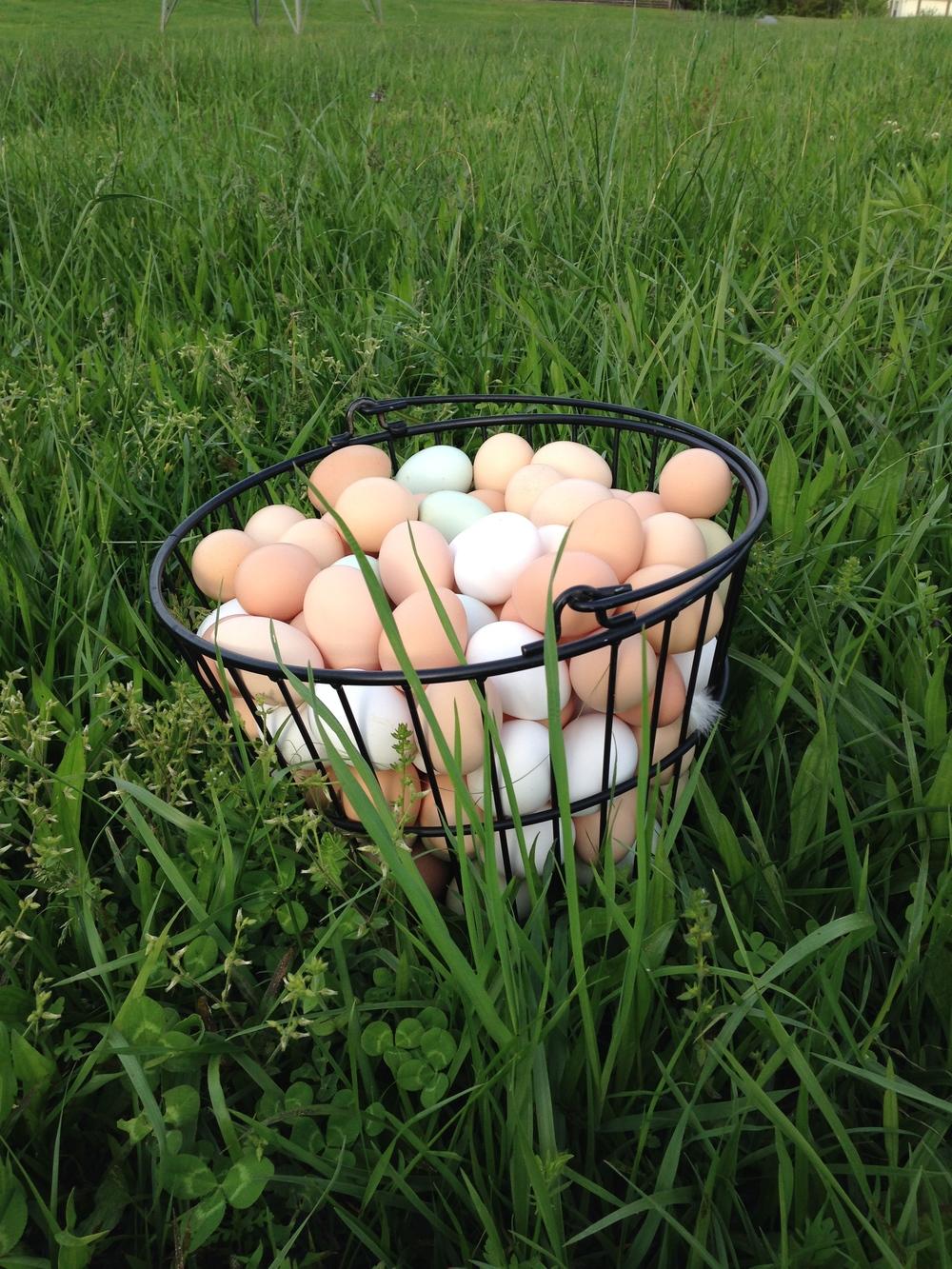 Farm Fresh Eggs in Spring Pasture