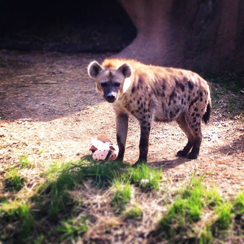 Happy Easter! 🌷🐣🐇#happyhyenas #stlzoo #eggstravaganza (at Saint Louis Zoo)