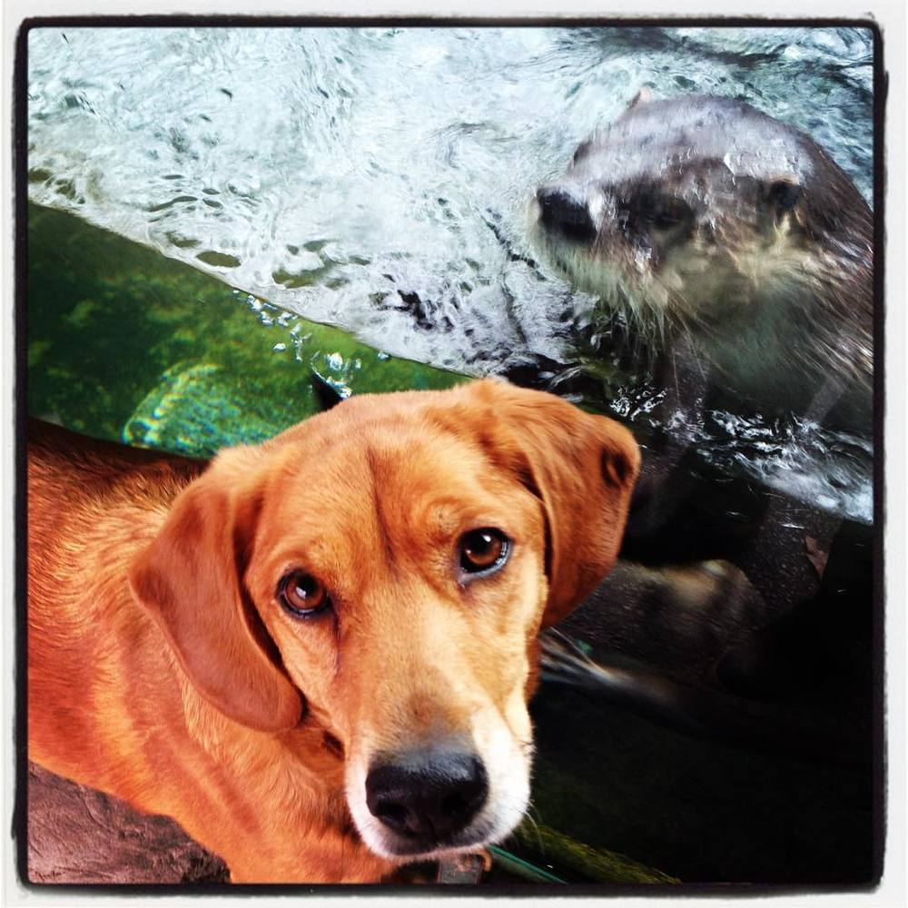 Oscar ❤️s Hannah. #zoodog #stlzoo #otterlove  (at Saint Louis Zoo)