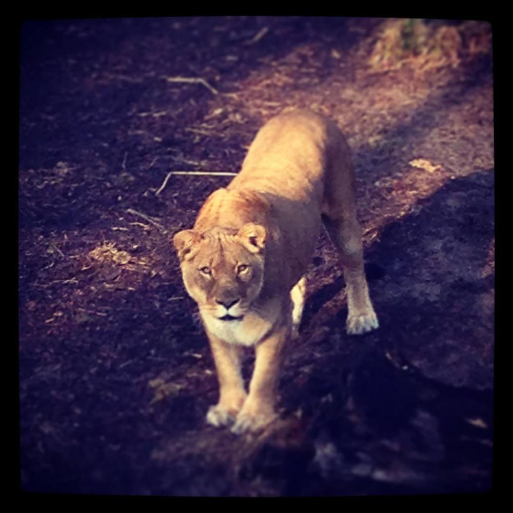 One of the very best parts of being a keeper is the look of recognition we get from the animals. Love her. #khakishorts #stlzoo #lioness