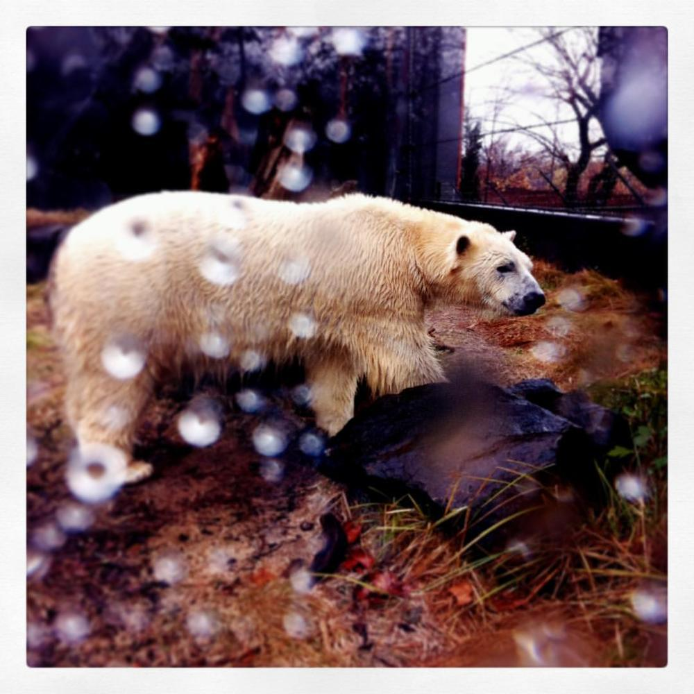 At least this big guy enjoyed today's arctic blast. #stlzoo #kalibear #firststlsnow