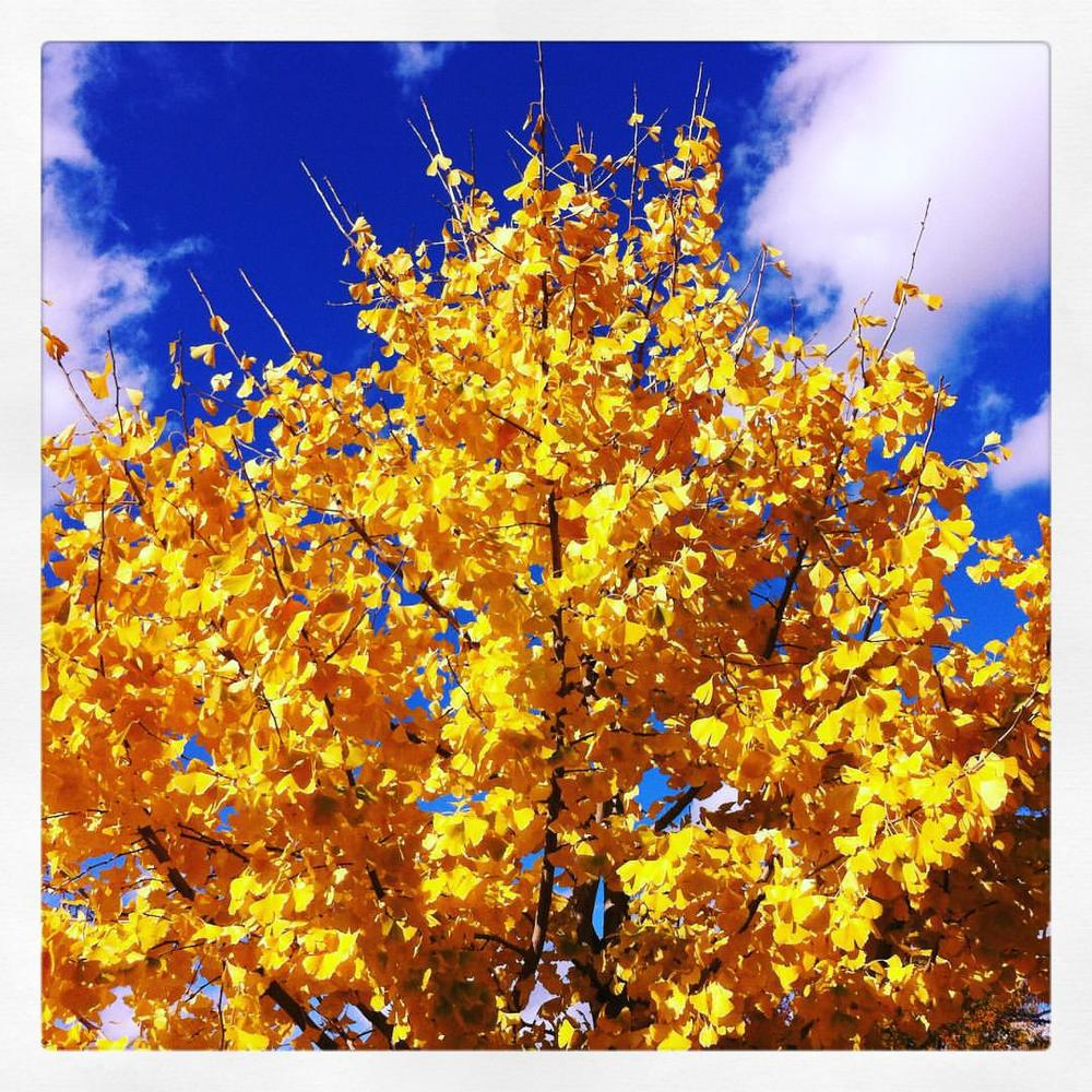 The yellowest tree I ever did see. #stlzoo #fall