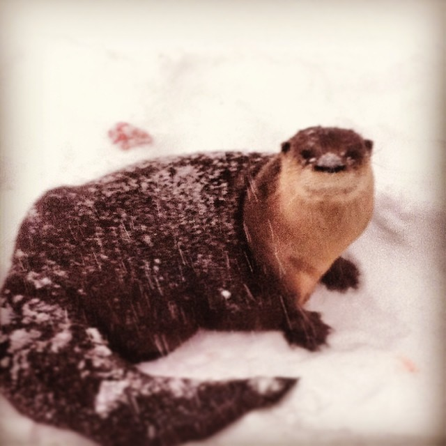 Snowy otter nose!