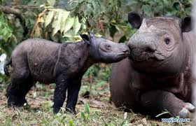 Baby Sumatran Rhino, Andatu with mother, Ratu.