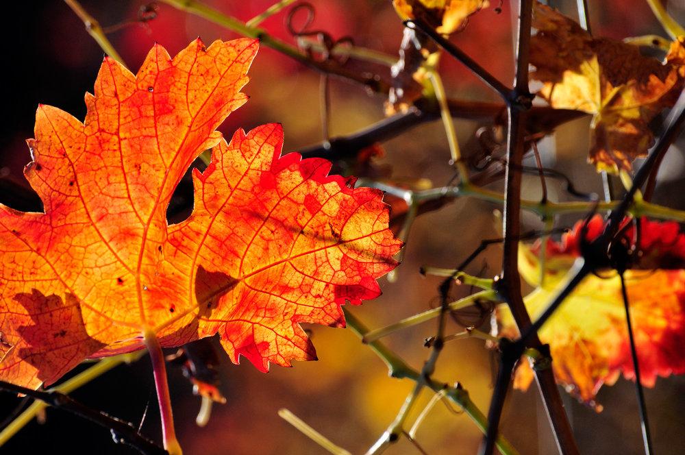Vine-leaf.jpg