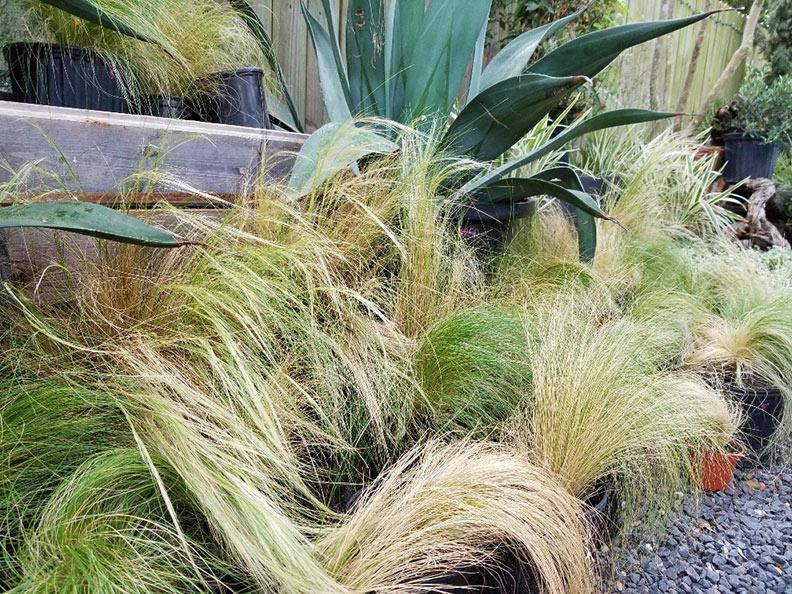 feathergrass.jpg