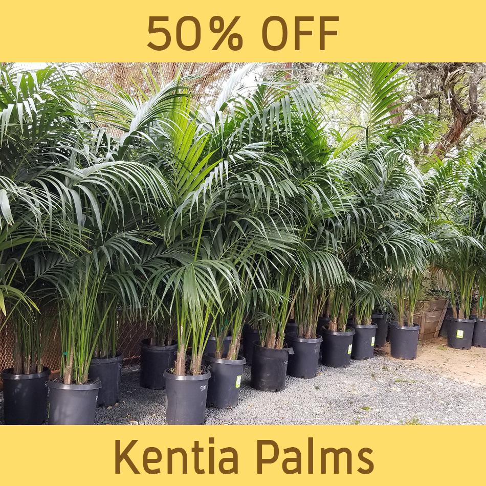 palm_Kentia-Palm-sale.png