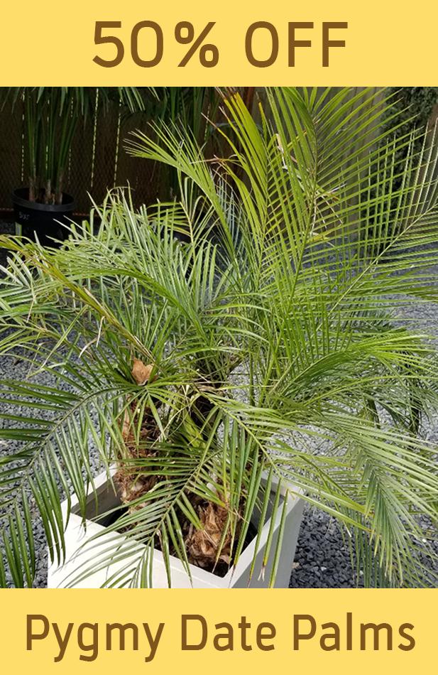 palm_Pygmy-Date-Palm-sale.png