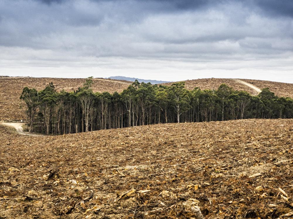 pine plantation02.jpg