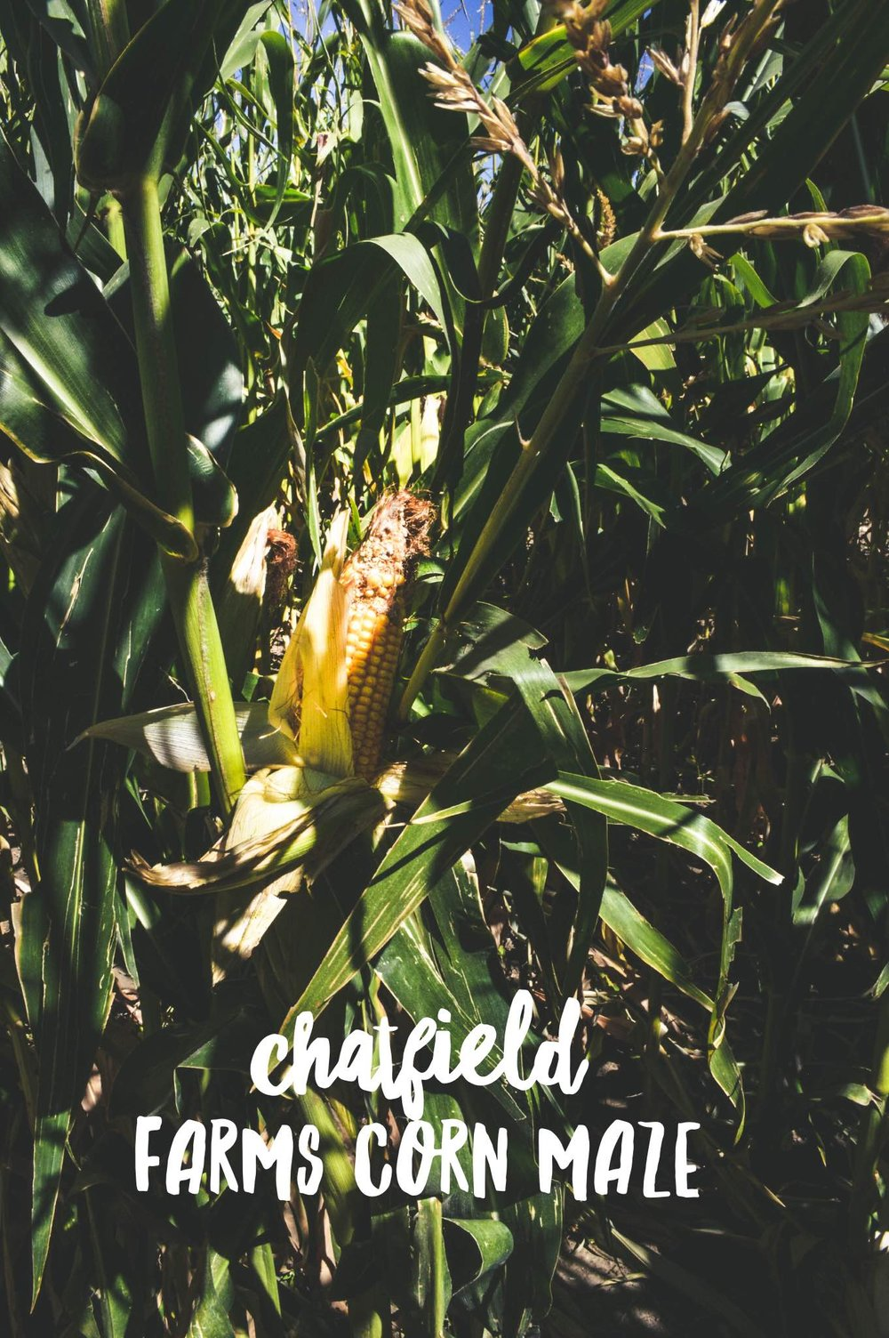 Chatfield Farms Corn Maze + SaltWaterVibes