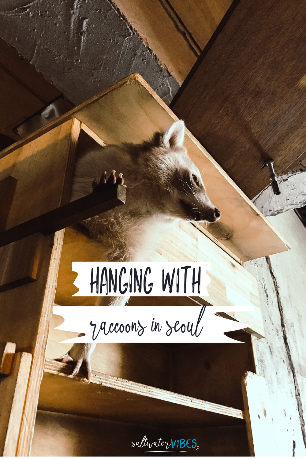 The Seoul Raccoon Cafe | SaltWaterVibes