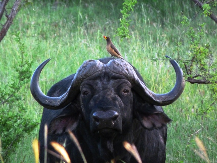 lolkisale_buffalo.jpg