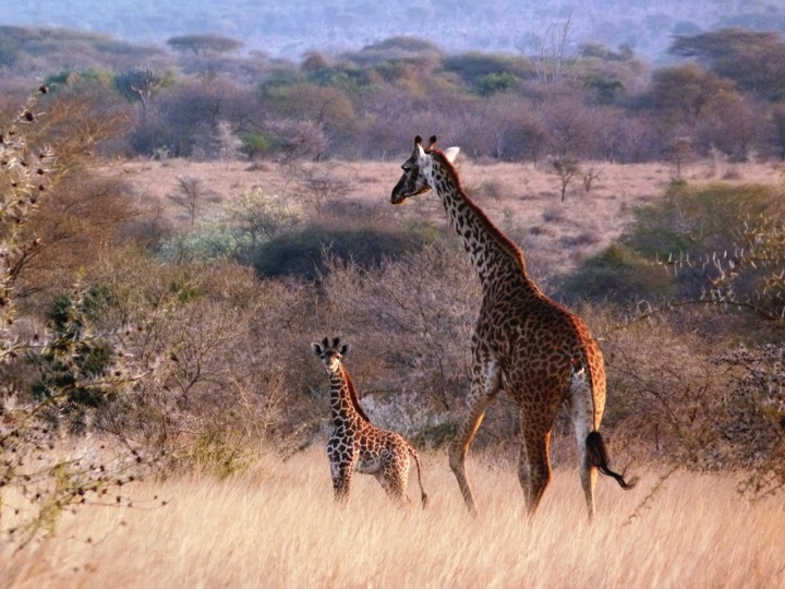 lolkisale_giraffe.jpg