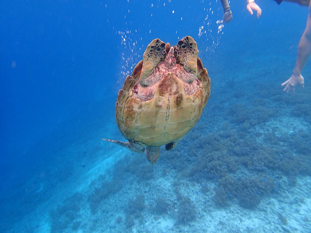 sea turtles in the gili islands!