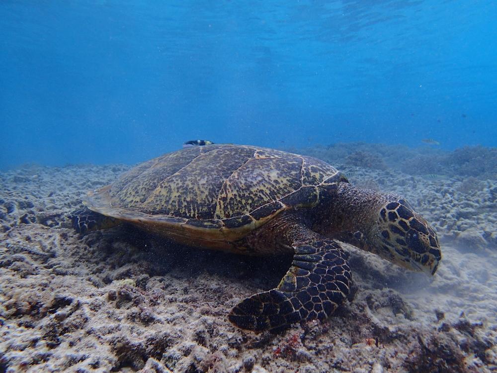 more gili turtles