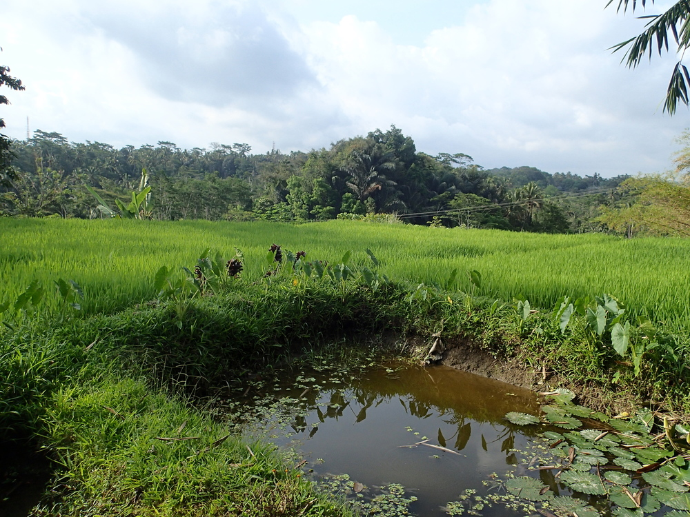 Rice paddies on the walk to Pura Gunung Kawi