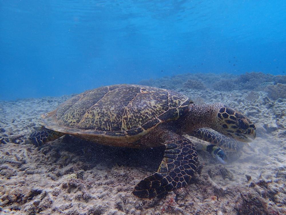 Gili T turtles!
