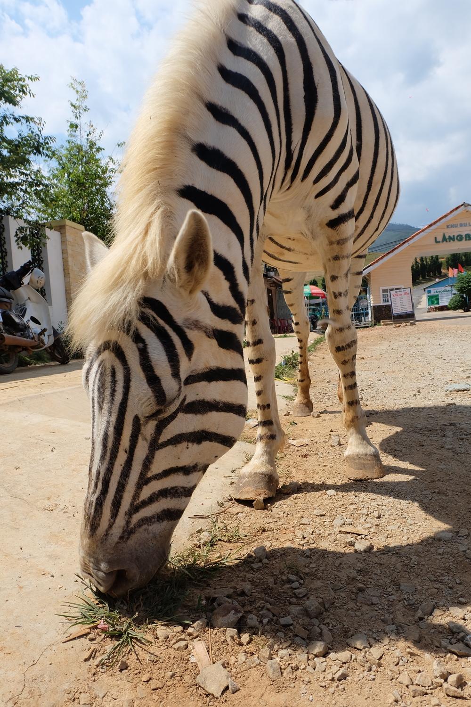 fake-zebra-da-lat-vietnam.JPG