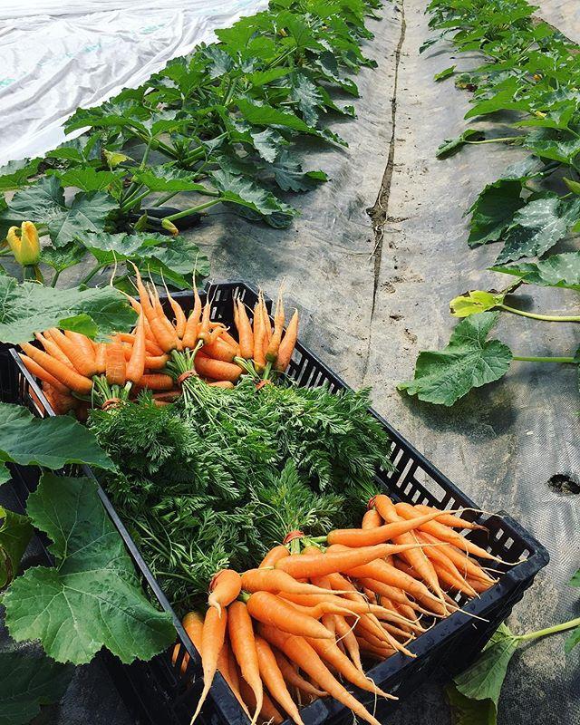 Plantées en mars dans nos serres sur rails, ces délicieuses carottes nantaises ont terminé leur croissance à l'extérieur de la serre pendant que ce sont les courgettes qui ont profité de la chaleur de la serre 😃🌞 #theyseemeroling #movablegreenhouse