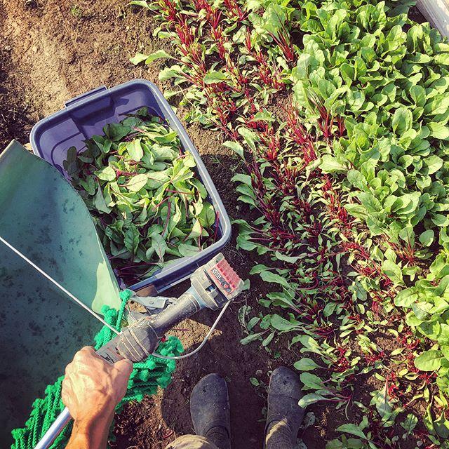 5H30 : récolte des verdures avant les grandes chaleurs 😅