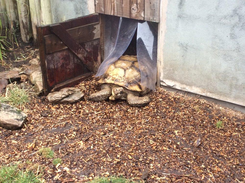 A giant tortoise...