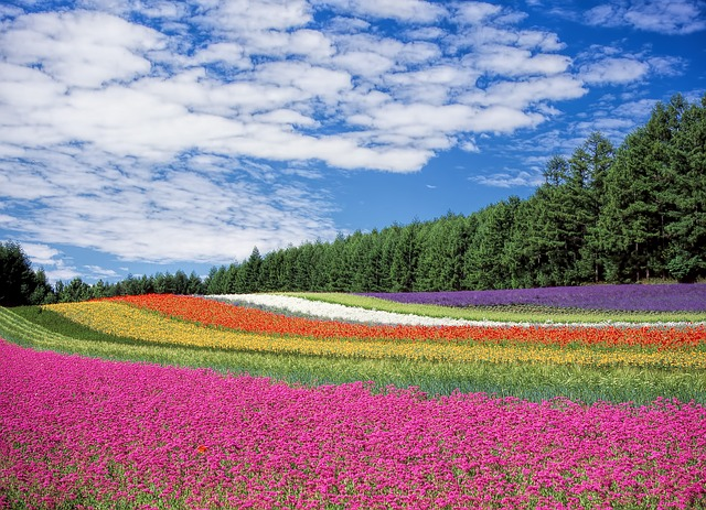 lavender fields in furano