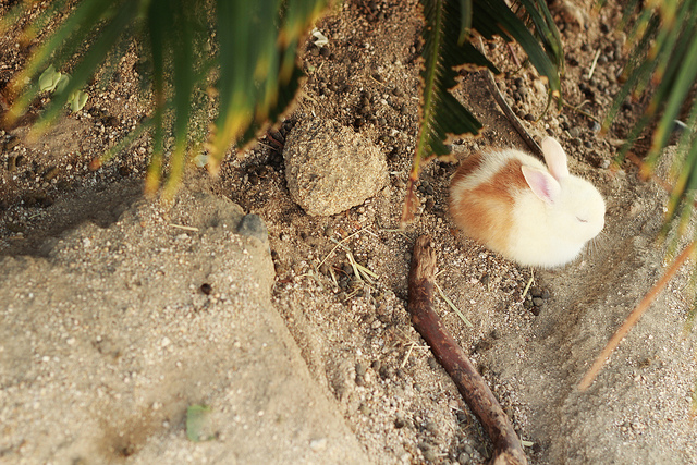 Rabbit photo by: flickr@okunoshima_05