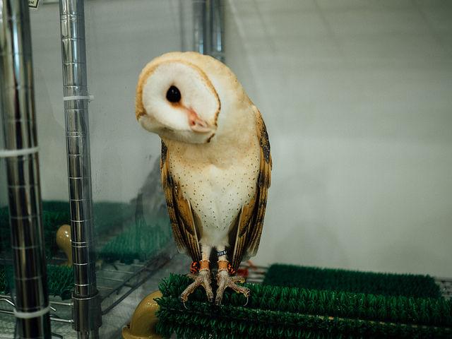 An image of the barn-owl turning its head.  Photo by Flickr@Tim Brennan
