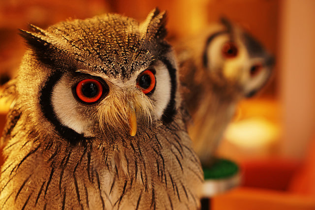 Picture of eager and friendly southern white-faced owls. Photo by Flickr@Yuki Hirano
