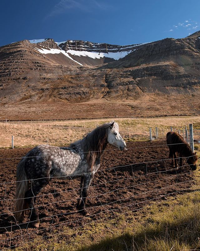 Icelandic stallion #iceland #icelandichorse #horse #goodboy #whenthesunneversets #travel #horsesofinstagram