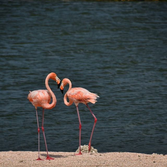 The chief difficulty Alice found at first was managing her flamingo. - Alice In Wonderland #flamingo #pinkflamingos #curacao #islandlife #beachlife #wanderlust #lovebirds #cbigrock #travelphotography #naturephotography #travel #nature #inthewild #lovetotravel #seetheworld