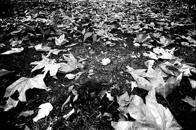 shorter days & fallen leaves #fall #leaves #autumn #monochrome