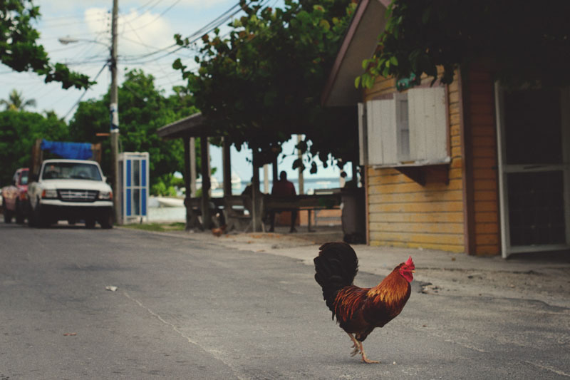 Harbour Island Wedding: roosters